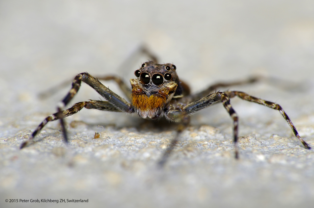 jumping spider on a rock.jpg
