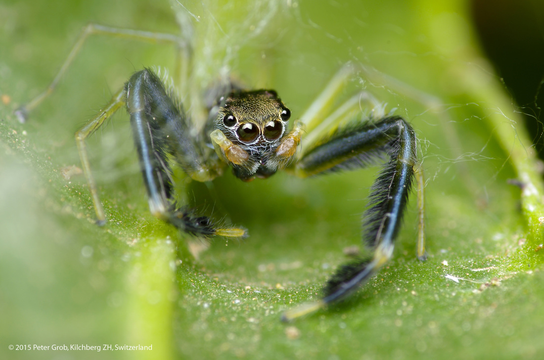 jumping spider with hairy legs from Thailand.jpg