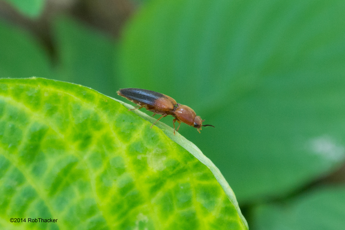 Elateridae click beetle from thailand.jpg