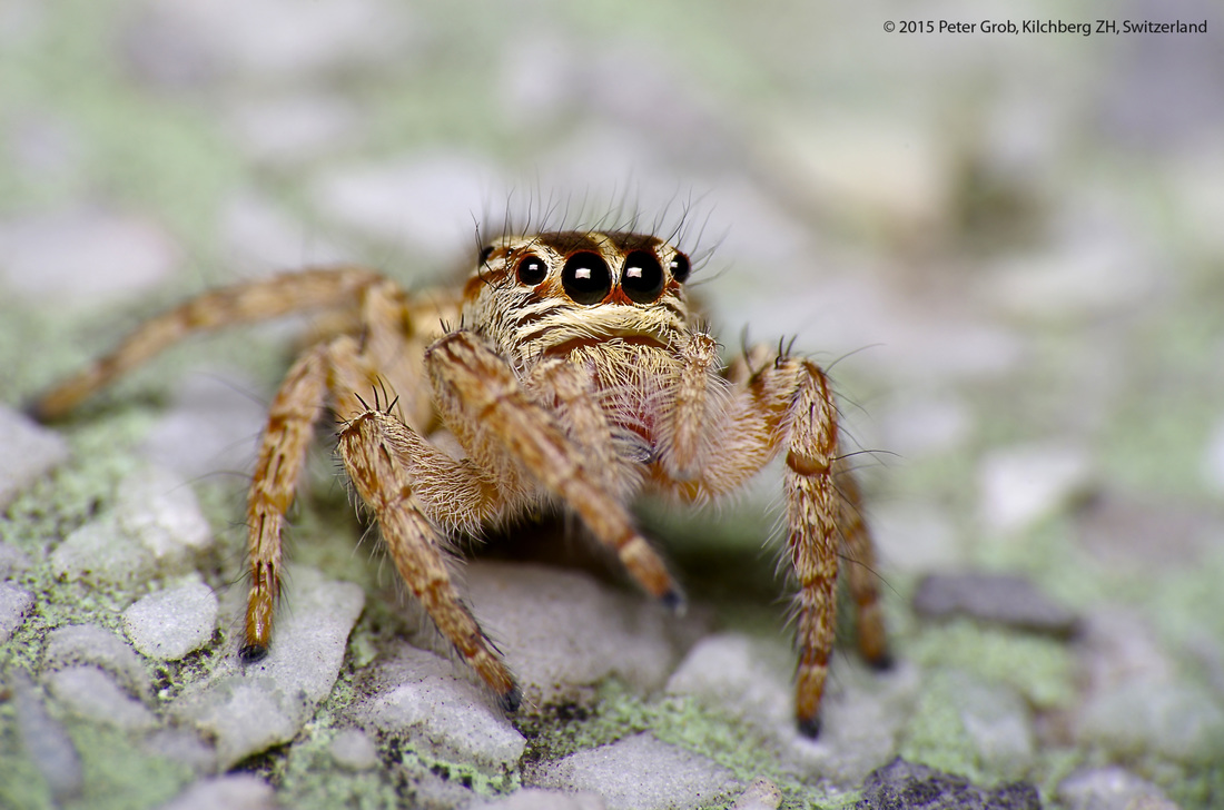 Jumping spider with a hairy head.jpg