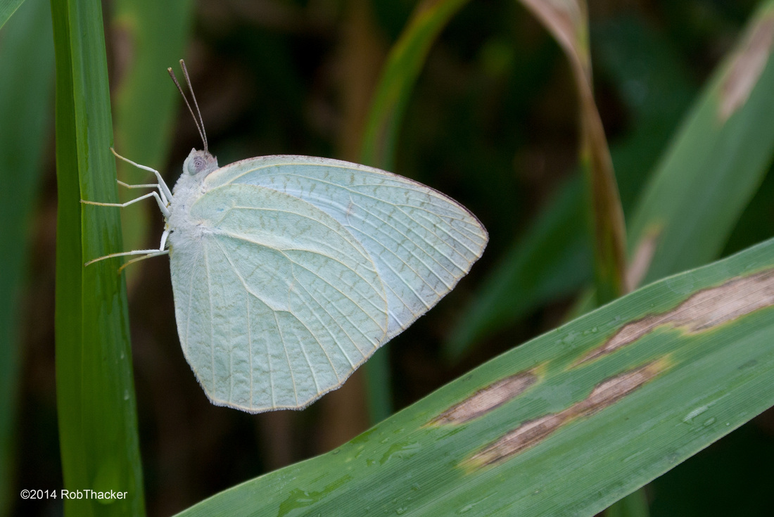 white butterfly from Thailand.jpg