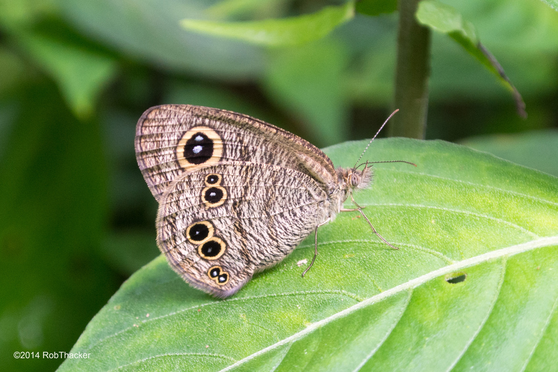 Common Five Ring butterfly from Thailand.jpg