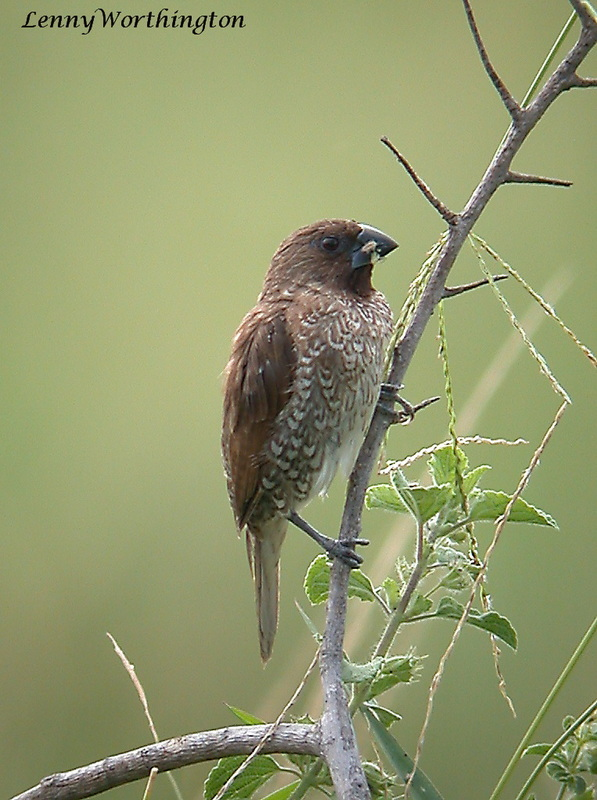Scaly-breasted Munia Lonchura punctulata.jpg