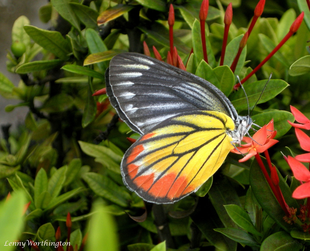 Yellow Red Black butterfly from Thailand, Painted Jezebel.jpg