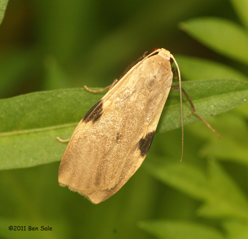 Macotasa moth from Thailand.jpg