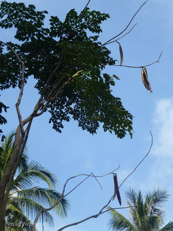 Oroxylum indicum tree.jpg