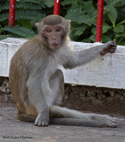 Long-tailed Macaque, Macace fascicularis.jpg