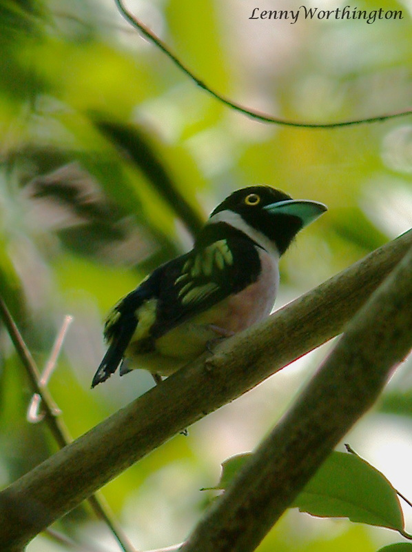 Black-and-Yellow Broadbill Eurylaimus ochromalus.jpg