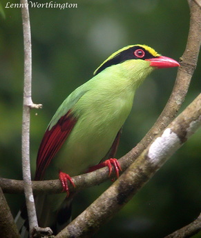 Common Green Magpie Cissa chinensis chinensis.jpg