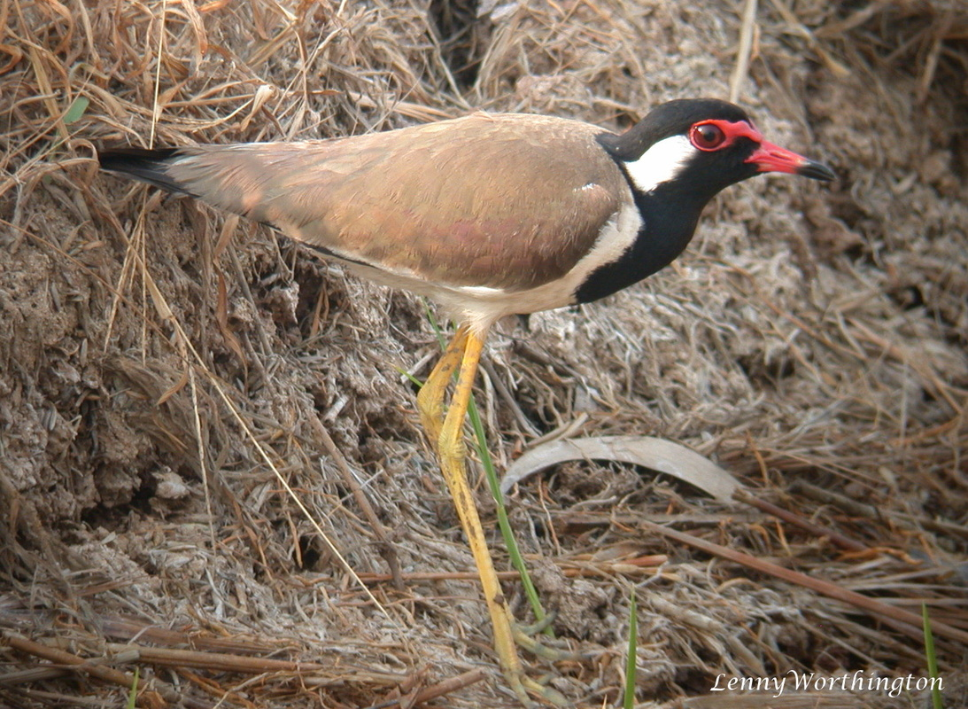 Red-wattled Lapwing Vanellus indicus.jpg