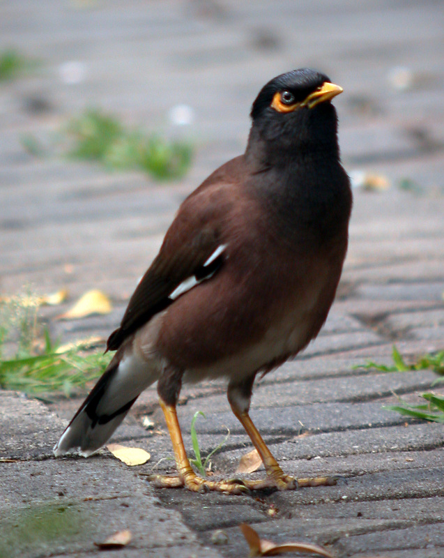 Common Myna Acriditheres tristis.jpg