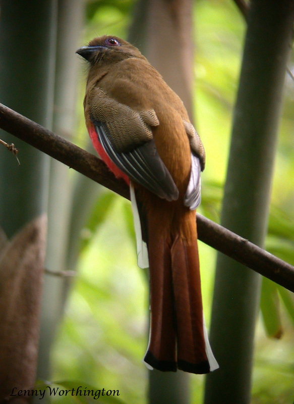Red-headed Trogon Harpactes erythrocephalus.jpg