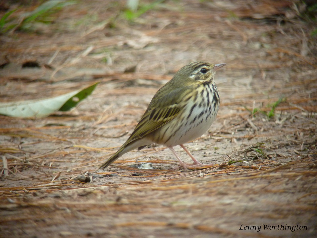 Olive-backed pipit Anthus hodgsoni .jpg
