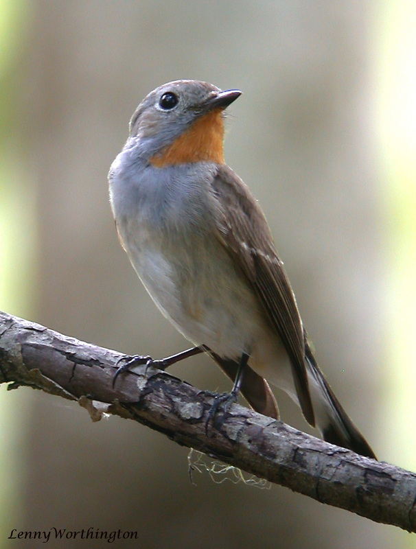 Red-throated Flycatcher Ficedula parva.jpg