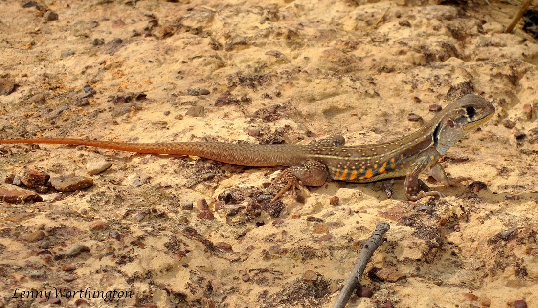 Common Butterfly Lizard, Leiolepis belliana.jpg