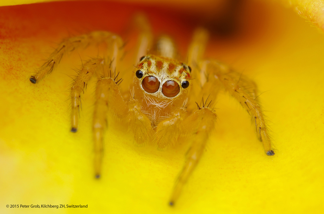 jumping spider on a flower.jpg