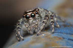 jumping spider from Asia.jpg