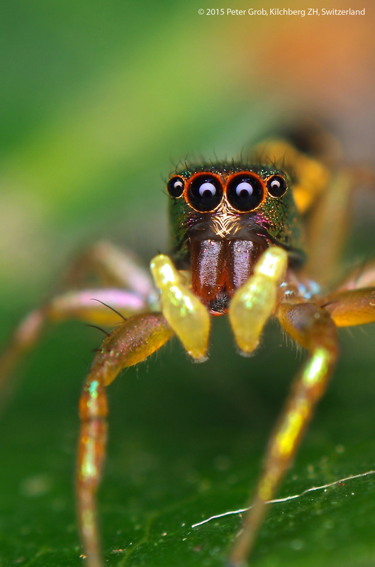 big fangs on a jumping spider.jpg