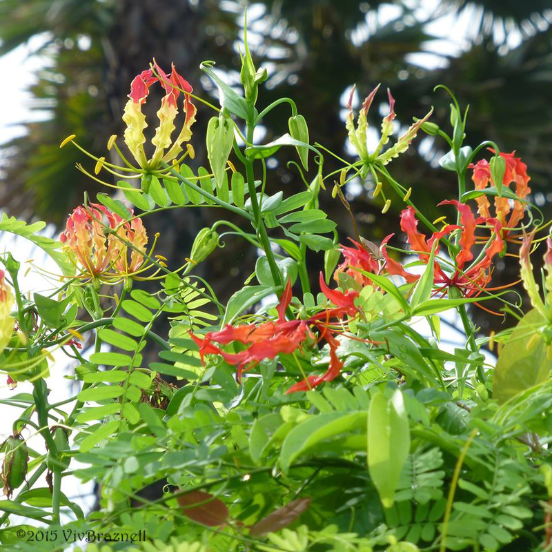 Gloriosa speciosa flowers and leaves.jpg