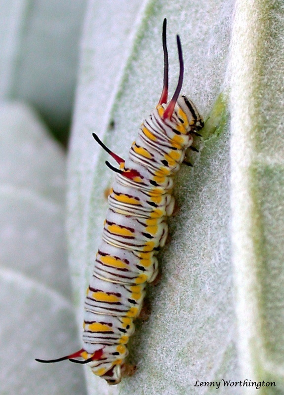 Danaus chrysippus chrysippus caterpillar,  Plain Tiger caterpillar.jpg