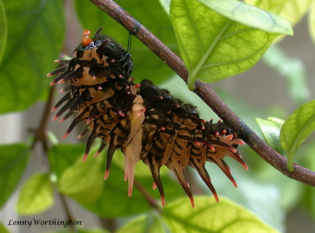 Troides aeacus aeacus caterpillar, Golden Birdwing caterpillar.jpg
