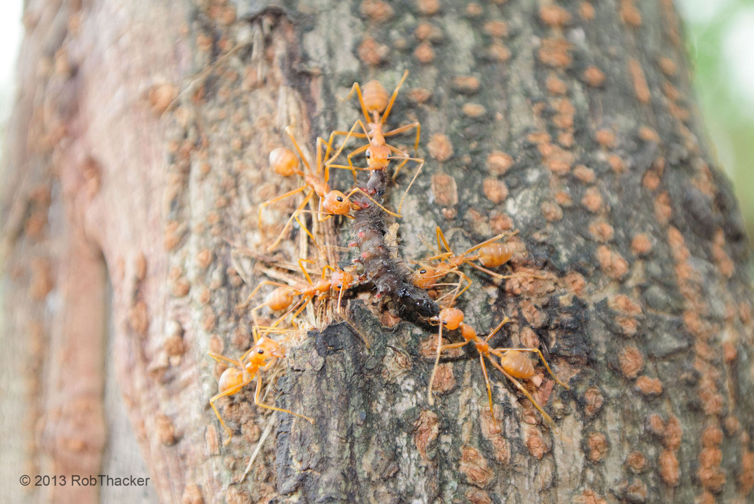 weaver ants with a caterpillar.jpg