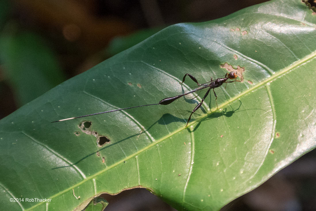Stephanidae Wasp from Thailand.jpg