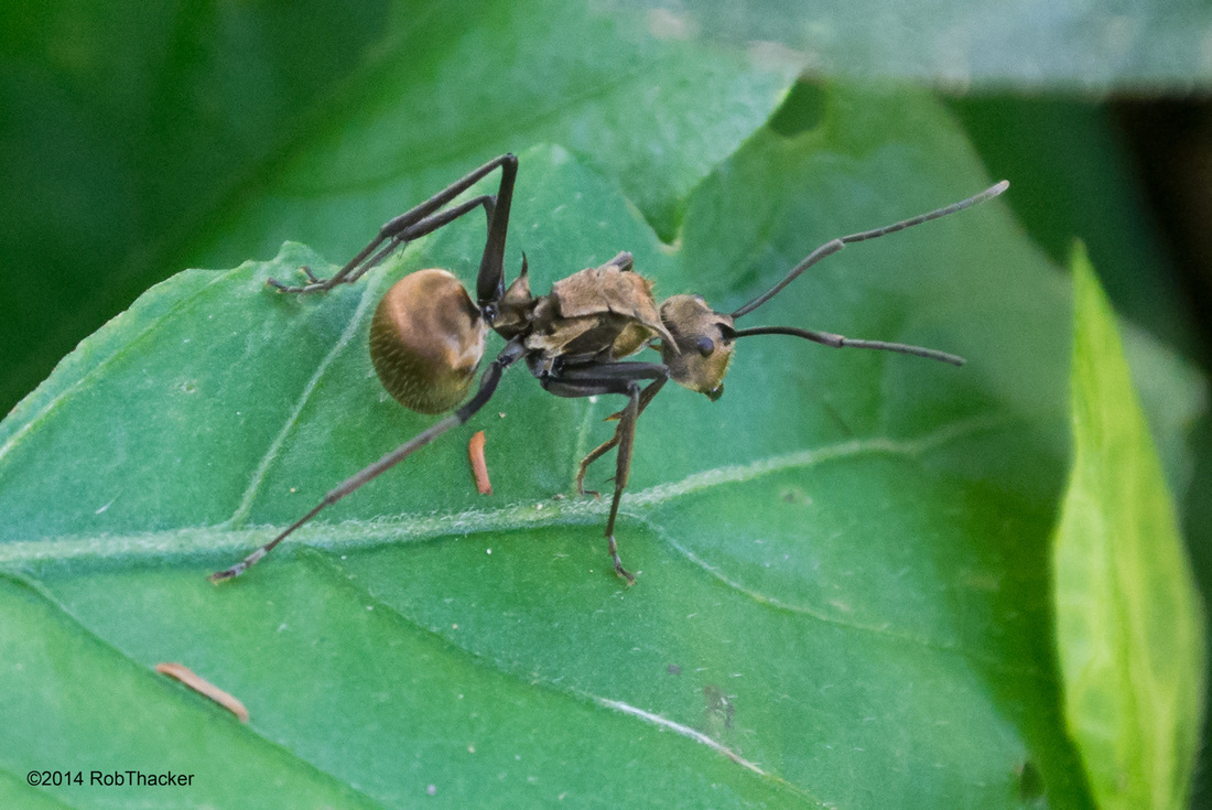 Polyrhachis proxima ant from Thailand.jpg