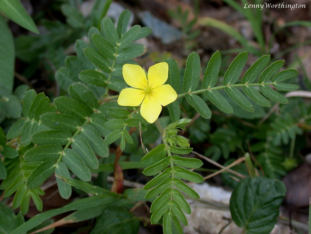 Tribulus terrestris, Ground Bur.jpg