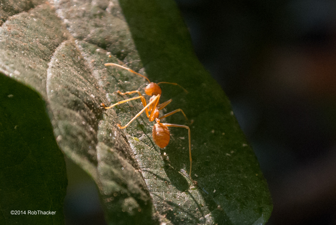 Weaver ant on a leaf Chiang Mai