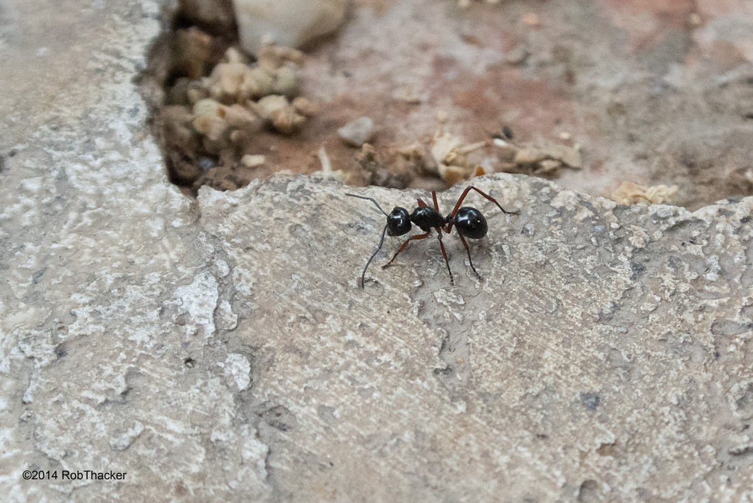 Black Ant with red legs in Thailand001.jpg