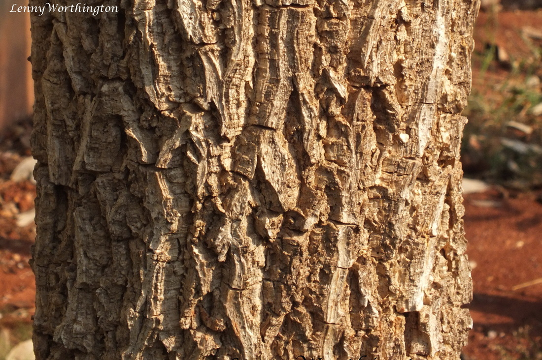Millingtonia hortensis, Tree Jasmine bark.jpg