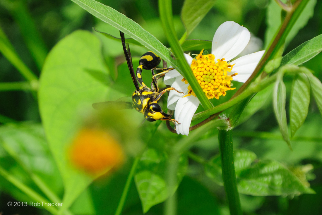 Phimenes flavopictus, Potter wasp Thailand.jpg