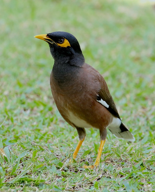 Common Myna, Acriditheres tristis.jpg