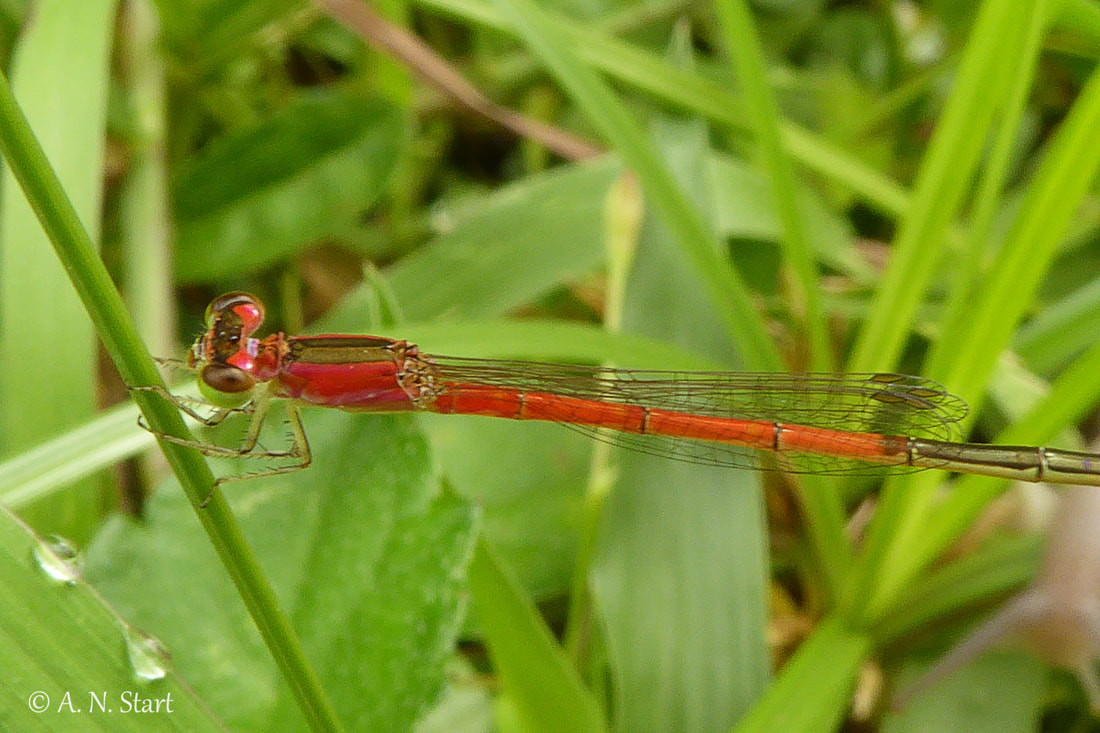 Agrionemis femina female Doi Saket Dam Chiang Mai October 2016.jpg