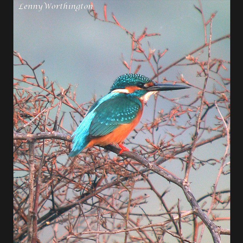Alcedo atthis Common Kingfisher.jpg