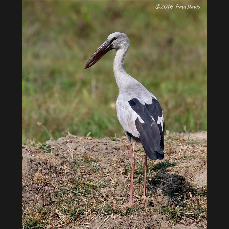 Anastomus oscitans Asian Openbill.jpg