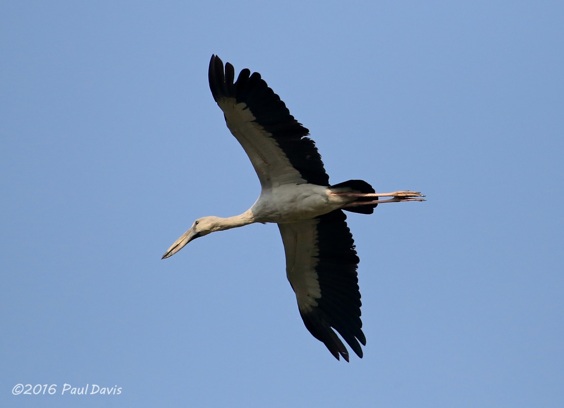 Asian Openbill in flight.jpg