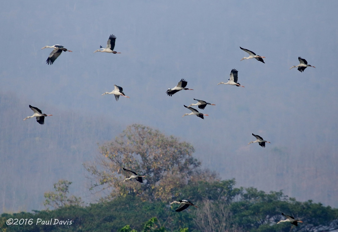 Flock of Asian Openbill's on Thailand.jpg