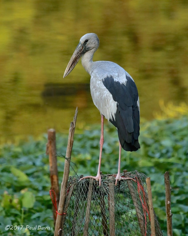 Asian Openbill from Bangkok.jpg