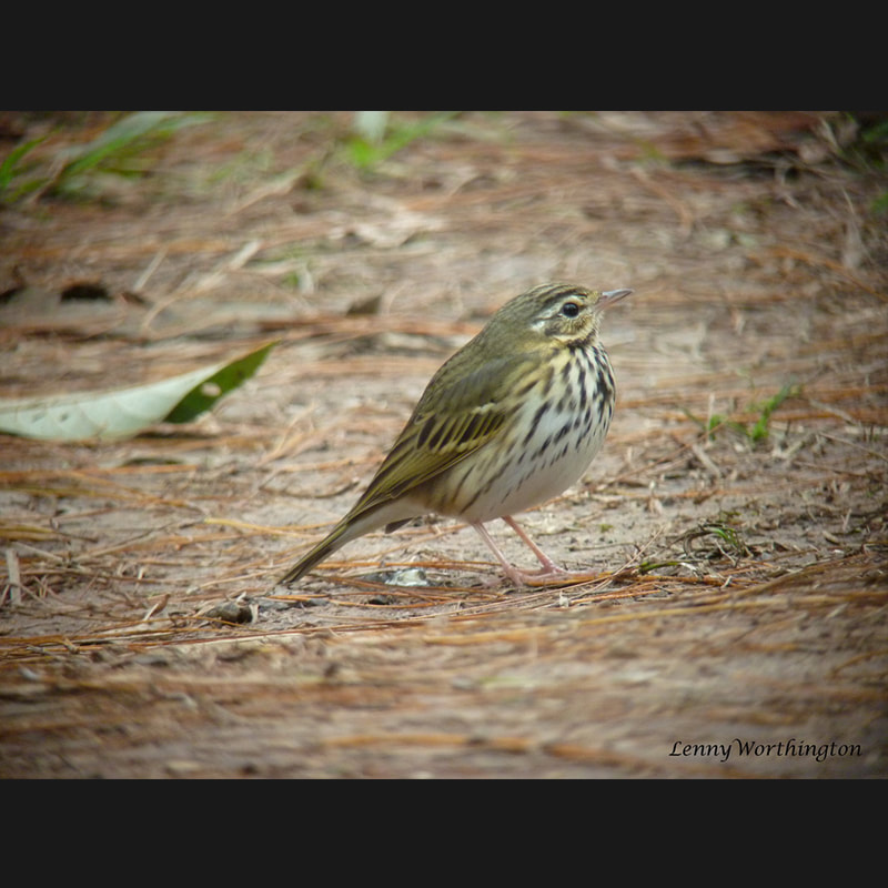 Anthus hodgsoni Olive-backed Pipit.jpg