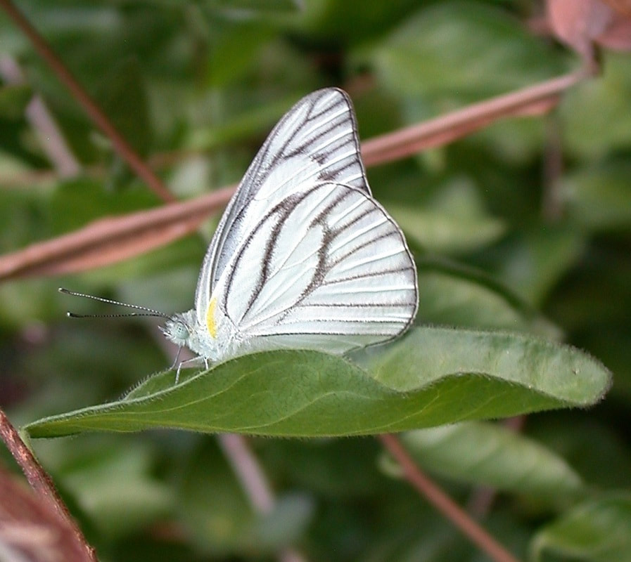 white and black butterfly from Thailand, Appias olferna olferna.jpg