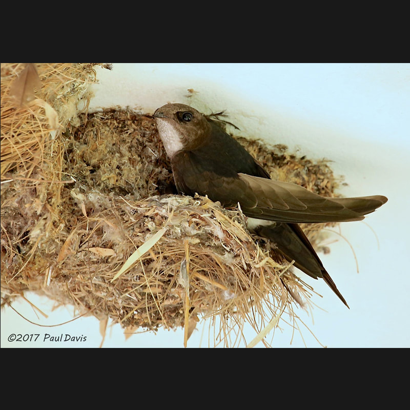 Apus nipalensis House Swift.jpg