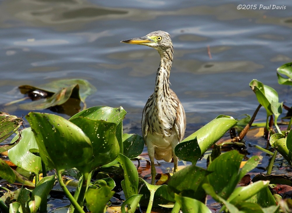 Indian pond heron, Ardeola grayii.jpg