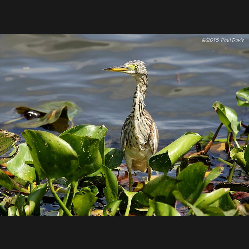 Ardeola grayii Indian Pond-Heron.jpg
