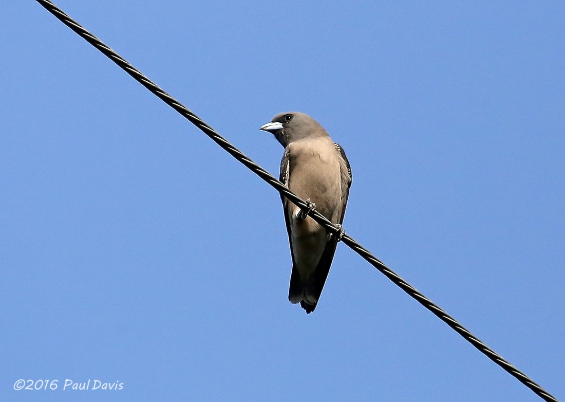 Ashy Woodswallow from Chiang Mai.jpg