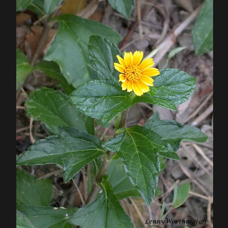 Asteraceae of Thailand