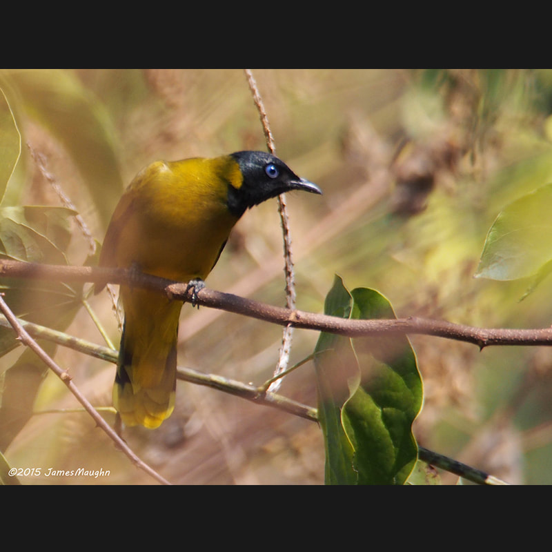 Brachypodius melanocephalos Black-headed Bulbul.jpg