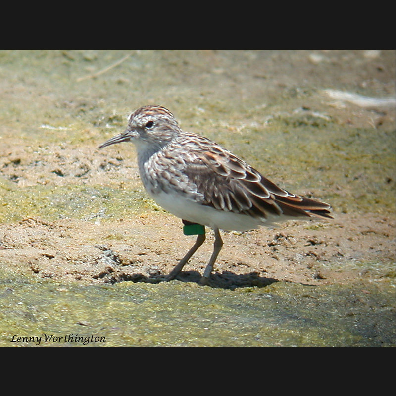 Calidris acuminata Sharp-tailed Sandpiper.jpg