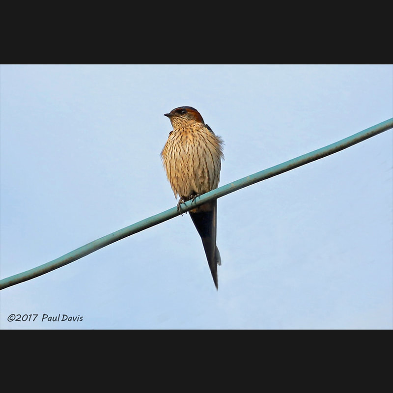 Cecropis daurica Red-rumped Swallow.jpg